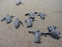 leatherback sea turtle hatchlings, Dermochelys coriacea, run to sea, Dominica, West Indies, Caribbean, Atlantic