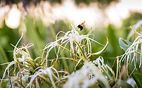 Photos of a carpenter bee and also a California mantis (Stagomantis californica) on some Crinum lily outside the second floor windows of AGC. Photographed July 14, 2017.<br /> (Photo by Marc Campos, Occidental College Photographer)