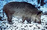 Wild Boar, Sus scrofa, in snow, captive Blean Woods....