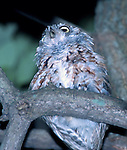 Juvenile Eastern Screech Owl at night in Long Pond Park, Staten Island, NY.  About 20 feet up in a tree.