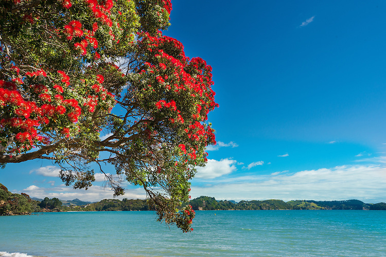 Flowering Pohutukawa tree, Coromandel, New Zealand- stock photo, canvas, fine art print