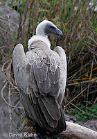 0216-08nn  African White-backed Vulture, Gyps africanus © David Kuhn/Dwight Kuhn Photography