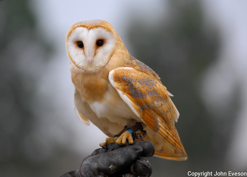 Tame Barn Owl on a gloved hand.