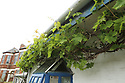 Peter Emerson's grapevine which starts outside the house, goes though the house and exits and wraps around the top of outside his Rhubarb Cottage in North Belfast Wednesday July 3rd, 2019. (Photo by Paul McErlane for the Belfast Telegraph)