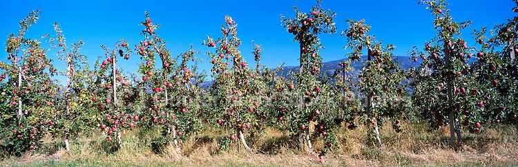 Ripe Red Apples growing on Orchard Trees, South Okanagan Valley, BC, British Columbia, Canada - Fresh Fruit