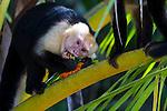Capuchin monkeys in the trees at Manuel Antonio National Park, Costa Rica
