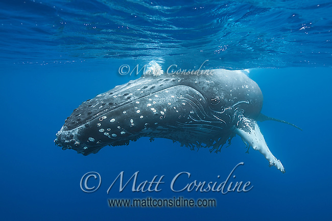 This huge female humpback was very relaxed as her baby played on the surface. (Photo by Underwater Photographer Matt Considine)