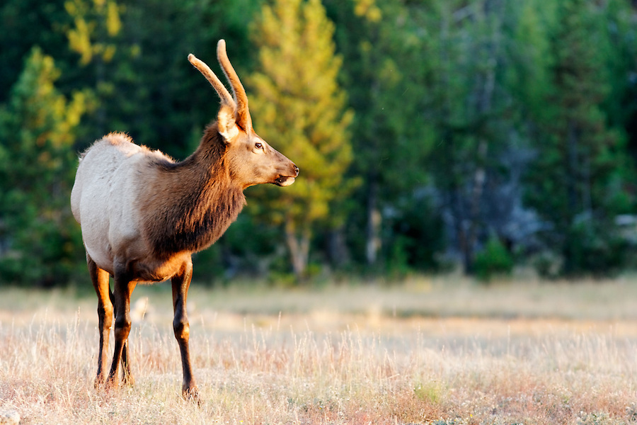 Immature male elk standing in meadow at Madison River Valley in autumn, Yellowstone National Park, Wyoming, USA