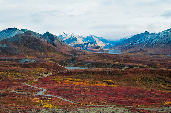 The tundra in Alaska turns a vibrant red and gold in a brief autumn.  This is the Alaska Range.