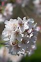Blossom of spring, rosebud or Higan cherry (Prunus subhirtella), late March.