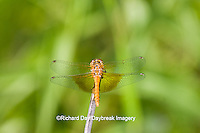 06664-00108 Band-winged Meadowhawk dragonfly (Sympetrum semicinctum) female, DuPage Co.  IL