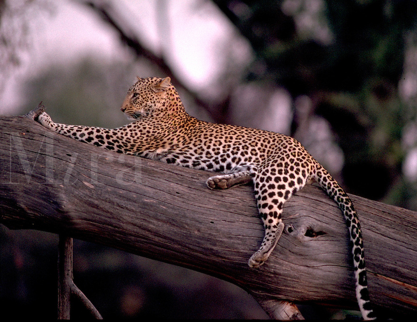 African, wild animal. A cheetah reclines on a tree limb at Samburu National Park in Kenya in East Africa. This beautiful mammal is reported to achieve running speeds of up to 70 miles an hour when pursuing prey and considered to be the fastest land animal