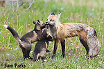 Red fox vixen with kits at den. Grand Teton National Park, Wyoming.