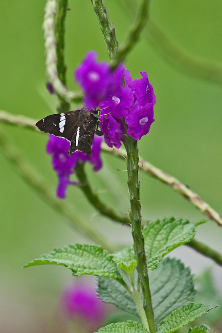 A brown skipper with white bands clearly apparent with wings partially spread on a bright magenta flower on a long green stalk. The skipper's head is partially hidden by a flower.