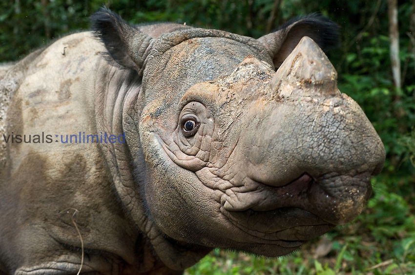 Sumatran rhino (Dicerorhinus sumatrensis).Way Kambas National Park, Lampung Province, southern Sumatra, Indonesia.Critically endangered / threatened species - fewer than 200 left.Captive - Sumatran Rhino Sanctuary within the park