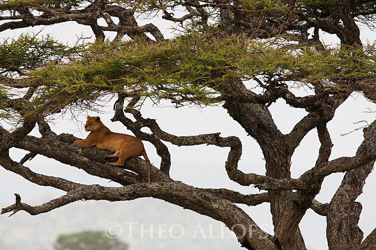Tanzania, Serengeti, lioness in tree