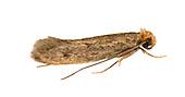 12.027 (0240)<br /> Case-bearing Clothes Moth - Tinea pellionella