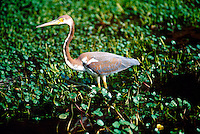 ANIMALS<br /> Louisiana Heron<br /> Egretta tricolor<br /> Corolla, NC