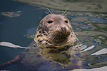 """This grey seal is one of several """"tame"""" animals that hang around the harbour of Kilmore Quay, scavenging fish scraps from anglers and trawler crew. The seal probably lives on the Saltee Islands.."""