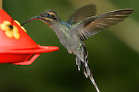 Adult female green hermit