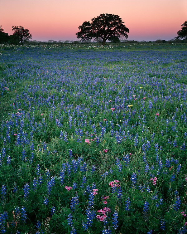Twilight glow over a field of Texas Bluebonnets (Lupinus texensis) and Pink Phlox (Phlox sp.) in the Texas Hill Country; Gonzales County, TX