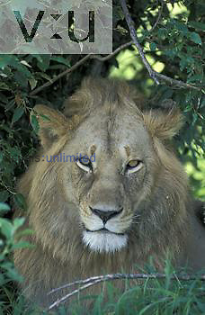 African Male Lion ,Panthera leo, Kenya