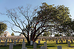 Israel, Jerusalem. Oriental Strawberry (Arbutus Andrachne) tree at the British War Cemetery on Mount Scopus