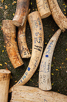 Elephant tusks are seen as five tonnes of confiscated ivory from the Philippines stockpile since 2009 is destroyed by excavator at the Philippines Government Protected Areas and Wildlife Bureau of the Department of Environment and Natural Resources, Quezon City, Manila, Philippines, 21 June 2013.