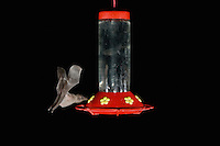Mexican Long-tongued Bat, Choeronycteris mexicana, adult in flight at night feeding on Hummingbird feeder,Tucson, Arizona, USA