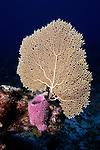 Sponge and Sea Fan