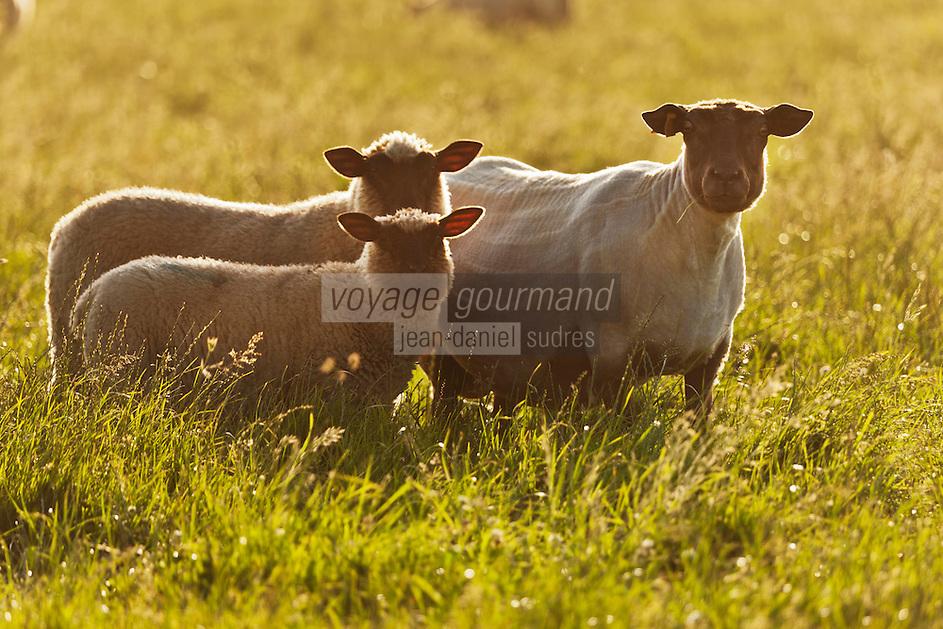 Europe/France/Normandie/Basse-Normandie/50/Manche/Presqu'île de la Hague/Goury: Elevage ovin- Mouton  à tête nnoire: le Roussin de la Hague