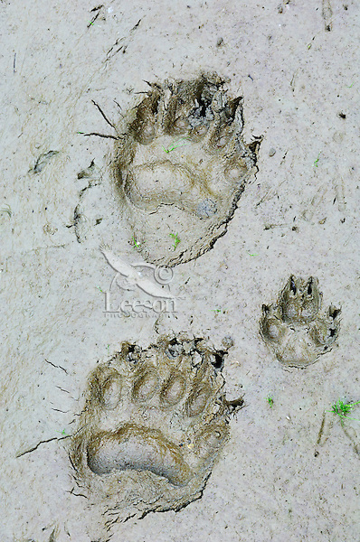 Black Bear  (Ursus americanus) tracks with coyote (Canis latrans) tracks in mud along pond edge.  Western U.S., summer..Most also display bird tracks on left side of bear tracks.  Note: This image shows both front foot and back bear foot prints, though back foot is the top track and front foot is the bottom print..