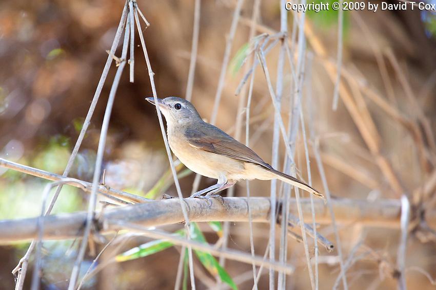 Little Shrike-Thrush, Mary River, Kakadu NP, NT, Australia