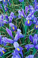 Field of blue iris, Mount Vernon, Skagit Valley, Skagit County, Washington, US