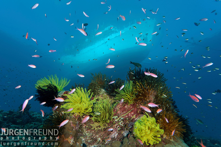 Crinoids or featherstars cover a coral bommie with dive liveaboard looming overhead