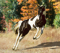 American Paint Horse stallion kicks up his heels, bucks