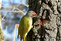 Grauspecht, Männchen, Grau-Specht, Erdspecht, Erdspechte, Picus canus, grey-headed woodpecker, grey-faced woodpecker, male, Le Pic cendré