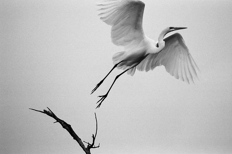 Great Egret, Film
