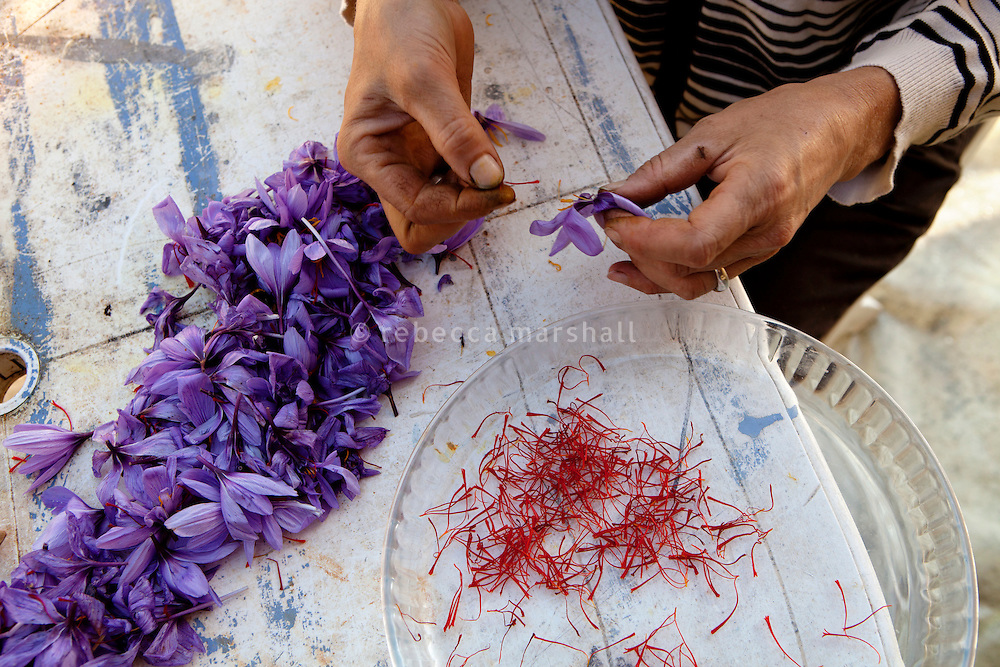 Preparing the saffron for drying, La Ferme Lavancia, Puget-Théniers, France, 25 October 2013. In a delicate operation, the stigma are separated by hand from the rest of the flower, without breaking or squashing them as one hallmark of good quality saffron is the stigma being whole. The other flower parts are then composted, being of no further use.
