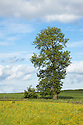 Ash Tree {Fraxinus excelsior} growing in a field. Peak DIstrict National Park, Derbyshire, UK. June.