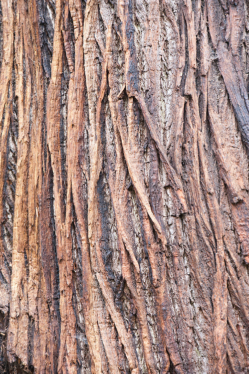 Trunk and bark of sweet chestnut (Castanea sativa).