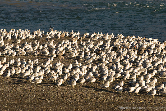 Mixed flock of gulls (Larus sp.), Sonoma County, California