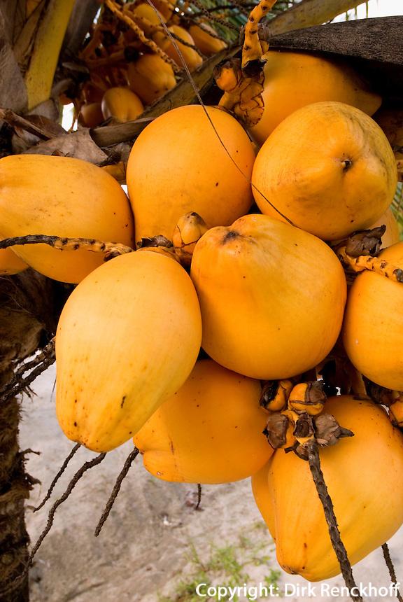 Guatemala, Kokospalme an der Bucht von Amatique