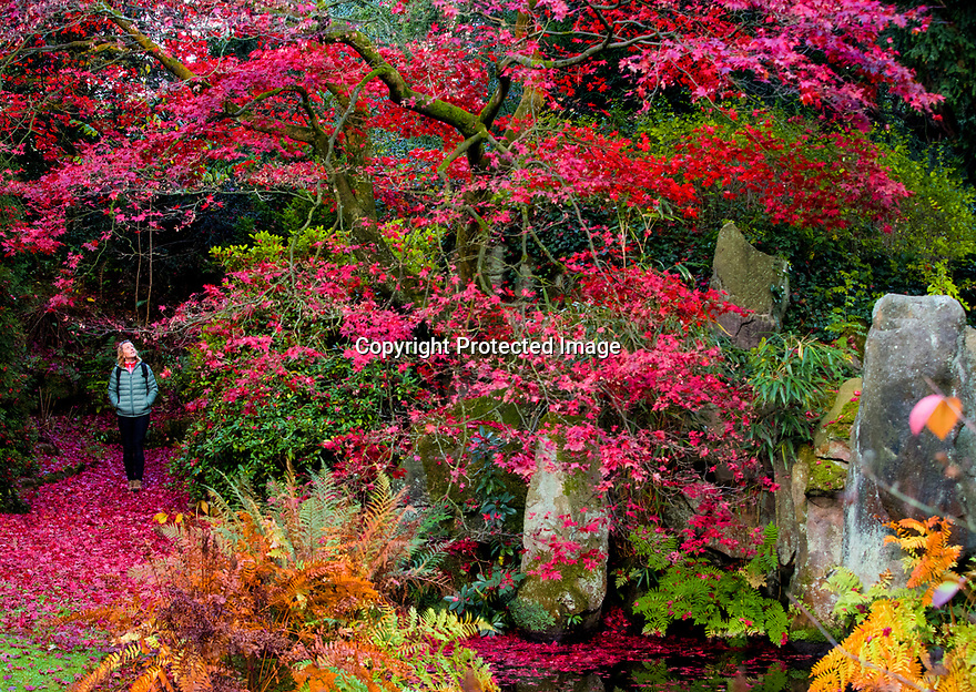 30/07/18<br /> <br /> Sarah Matthews admires the colour.<br /> <br /> Just in time for Halloween, a riot of blood red autumn colour frames the China Garden at Biddulph Grange Garden, Staffordshire.<br /> <br /> All Rights Reserved, F Stop Press Ltd. (0)1335 344240 +44 (0)7765 242650  www.fstoppress.com rod@fstoppress.com