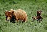 Brown bear and cubs, McNeil River Bear Sanctuary, Alaska