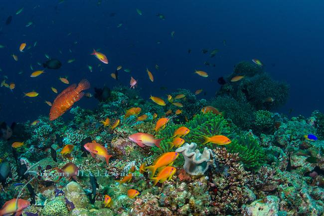 Colorful Reef Maldives, orange fish, Anthias, Red coral Grouper