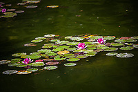Multiple lily pads and three flowers float on the koi pond at the Japanese Garden in San Mateo's City Park.
