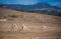 Zebras graze along the California Coastline near San Simeon