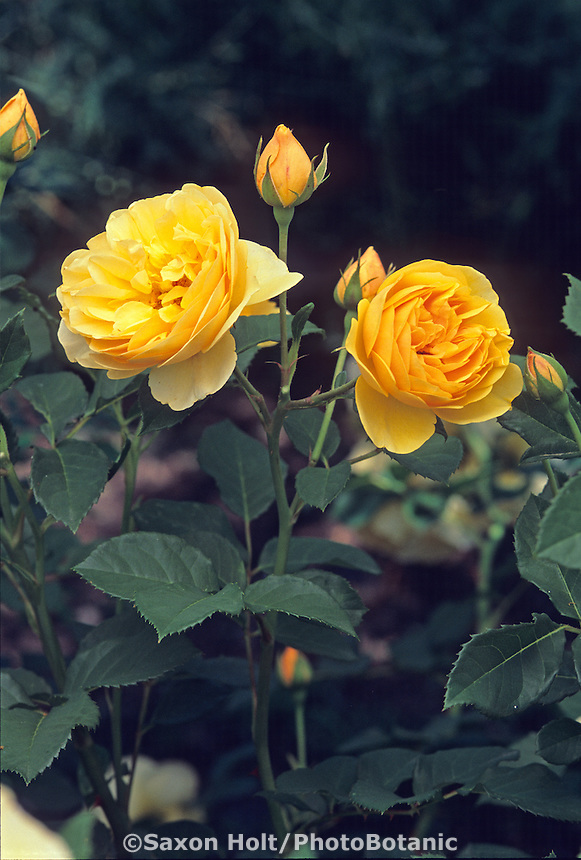 English Rose 'Graham Thomas' (shrub)