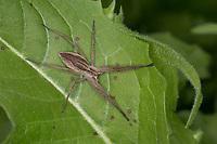 Listspinne, Raubspinne, Brautgeschenkspinne, Pisaura mirabilis, fantastic fishing spider, Nursery web spider, la Pisaure admirable